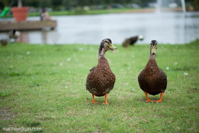 Ducks quacking by lake at New Orleans engagement